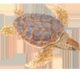 Tortuga caguama - color 26