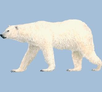 Acoger a un animal marino de especie oso polar