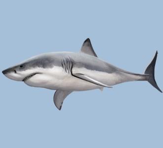 Tiburón blanco - color 1