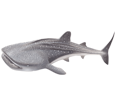 Tiburón ballena bebé - color 71