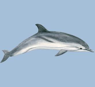 Acoger a un animal marino de especie delfín