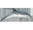 Delfín - color 1